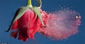 Súng và hoa hồng (Ảnh:  Alan Sailer)