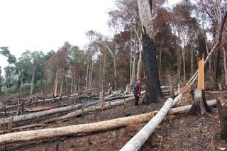 """Đây là """"phá sơn lâm"""", chứ không thể gọi là """"khai thác rừng"""" Ảnh: ST"""